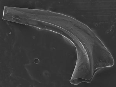 Protopanderodus? robustus, GIT 752-12