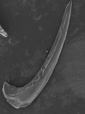 Protopanderodus? robustus, GIT 752-21