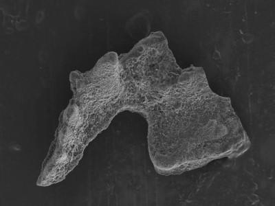 Sagittodontina kielcensis?, GIT 752-25