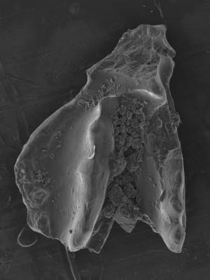 Sagittodontina kielcensis?, GIT 752-26