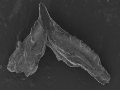 Lenodus antivariabilis?, GIT 752-9