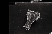 <i>Ancyrochitina aff. primitiva</i><br />Ruhnu 500 borehole, 413.20 m, Jaagarahu Stage