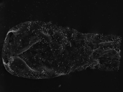 <i>Vitreachitina sp.</i><br />Kolka 54 borehole, 596.90 m, Adavere Stage