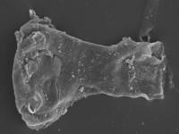 <i>Ancyrochitina cf. digitata</i><br />Kolka 54 borehole, 566.40 m, Adavere Stage