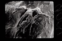 <i>Ancyrochitina gutnica</i><br />Ruhnu 500 borehole, 371.50 m, Jaagarahu Stage