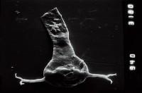 <i>Ancyrochitina cf. ancyrea</i><br />Nagli 106 borehole, 633.00 m, Adavere Stage