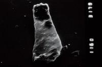 <i>Linochitina sp.1</i><br />Viki borehole, 171.60 m, Adavere Stage