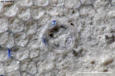 Anoigmaichnus isp., GIT 770-40-2