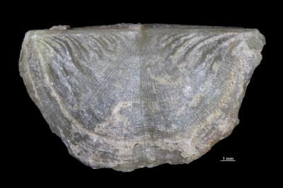 Ahtiella sp., GIT 785-1