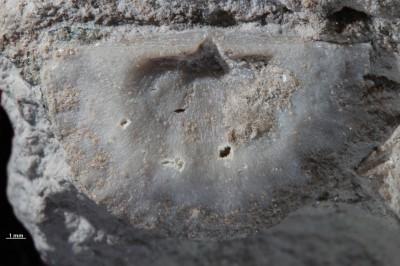 Ahtiella sp., GIT 785-6
