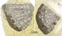 Favositidae