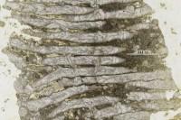 Syringopora blanda Klaamann, 1962, GIT 90-59