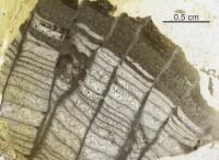 Favosites kalevi Klaamann, 1962, GIT 92-49