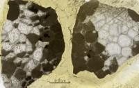 Favosites gothlandicus Lamarck, 1816, GIT 92-50