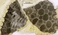 Favosites serratus Sokolov, 1952, GIT 92-51