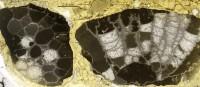 Favosites serratus Sokolov, 1952, GIT 92-52