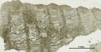 Favosites norvegicus Stasinska, 1967, GIT 96-14