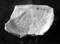 Hedstroemina inaequiclina (Alichova, 1951), TUG 1003-117