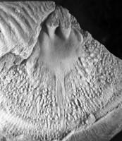 Kiaeromena (Bekkeromena) vormsina (Rõõmusoks, 2004), TUG 1003-178