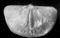 Sowerbyella (Sowerbyella) cf. oepiki Rõõmusoks, 1959, TUG 1054-109