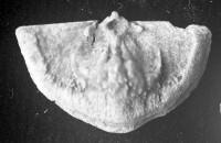 Sowerbyella liliifera Öpik, 1930, TUG 1054-112