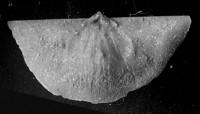Sowerbyella (Sowerbyella) liliifera Öpik, 1930, TUG 1054-123