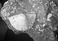 Sowerbyella (Sowerbyella) quincuecostata estona Öpik, 1930, TUG 1054-130
