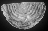 Leptaena (Septomena) juvenilis (Öpik, 1930a), TUG 1054-141