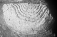 Leptaena (Septomena) juvenilis (Öpik, 1930), TUG 1054-142