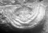 Leptaena (Septomena) juvenilis (Öpik, 1930a), TUG 1054-144