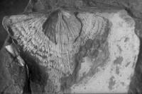 Leptaena (Leptaena) spumifera (Öpik, 1930), TUG 1054-152
