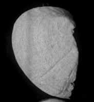 Bekkerina dorsata (Bekker, 1921), TUG 1054-157