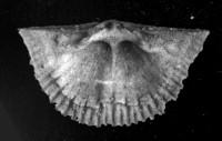 Estlandia marginata (Pahlen, 1877), TUG 1054-233