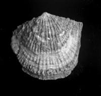 Estlandia marginata (Pahlen, 1877), TUG 1054-234