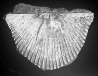 Cyrtonotella kuckersiana cf. frechi (Wysogorski, 1900), TUG 1054-23