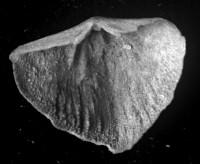 Sowerbyella liliifera Öpik, 1930, TUG 1054-264