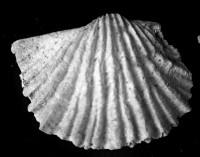 Nicolella sp. b, TUG 1054-43