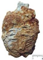 Rusophycus isp., TUG 1063-1