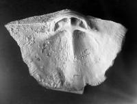 Clinambon anomalus anomalus (Schlotheim, 1822), TUG 1068-89