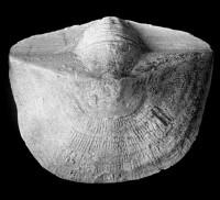 Clinambon anomalus anomalus (Schlotheim, 1822), TUG 1068-91