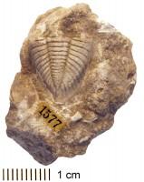 Pterygometopus kuckersiana Schmidt, 1881, TUG 1086-19