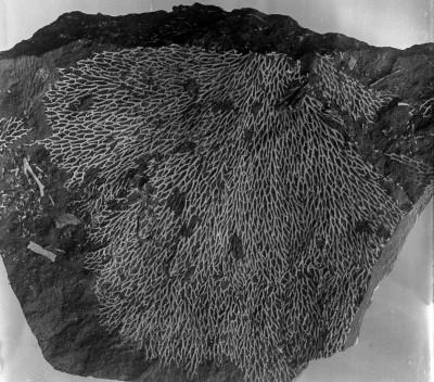 Chasmatopora furcata (Eichwald, 1854), TUG 1087-13