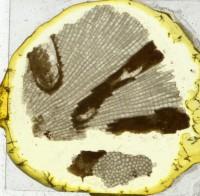 Diplotrypa petropolitana (Nicholson, 1879), TUG 1110-101