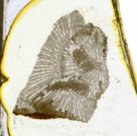 Diplotrypa petropolitana (Nicholson, 1879), TUG 1110-102