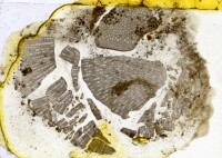Diplotrypa petropolitana (Nicholson, 1879), TUG 1110-103