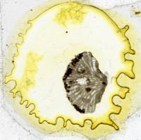 Diplotrypa petropolitana (Nicholson, 1879), TUG 1110-104