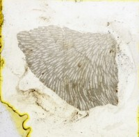 Diplotrypa petropolitana (Nicholson, 1879), TUG 1110-114
