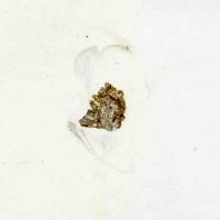 Dittopora colliculata (Eichwald, 1856), TUG 1110-153
