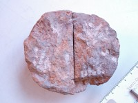 Diplotrypa petropolitana (Nichoson, 1879), TUG 1110-6