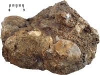 Solenopora spongoides Dybowski, TUG 1140-5